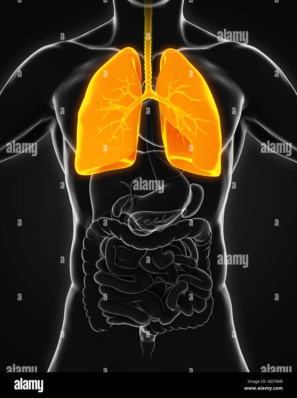 Human Respiratory System - Stock Image