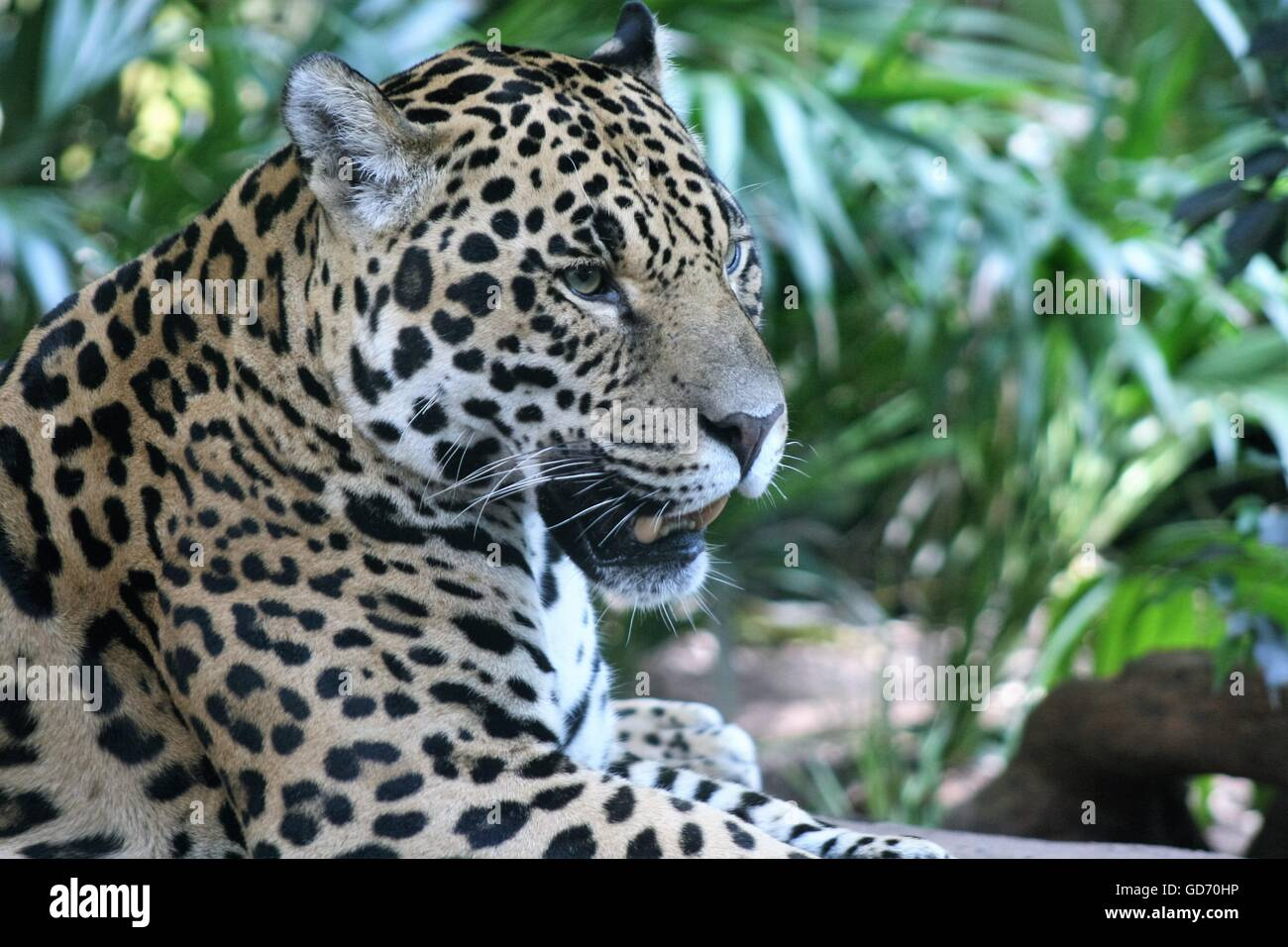side view of Jaguar - Stock Image