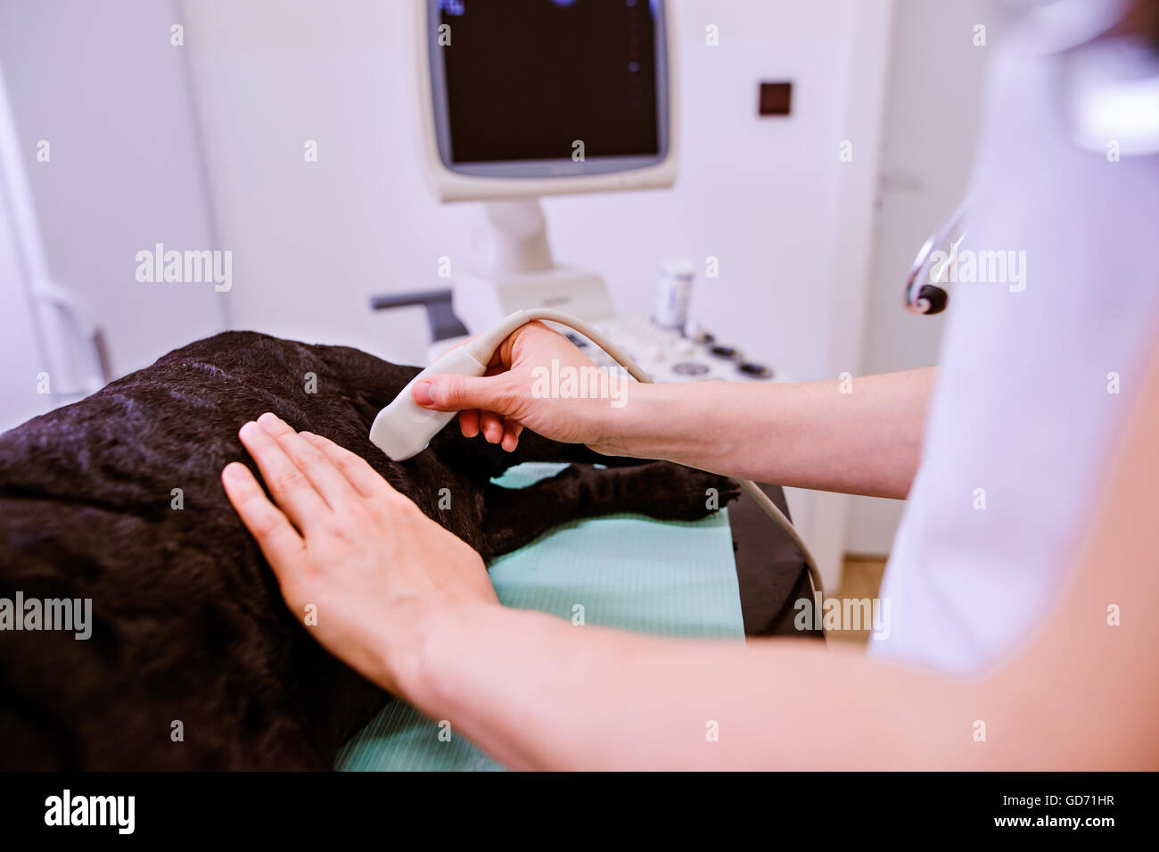 Dog having ultrasound scan at Veterinary clinic. - Stock Image