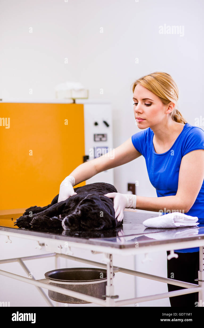 Veterinarian at veteringary clinic examining dog with sore stoma - Stock Image
