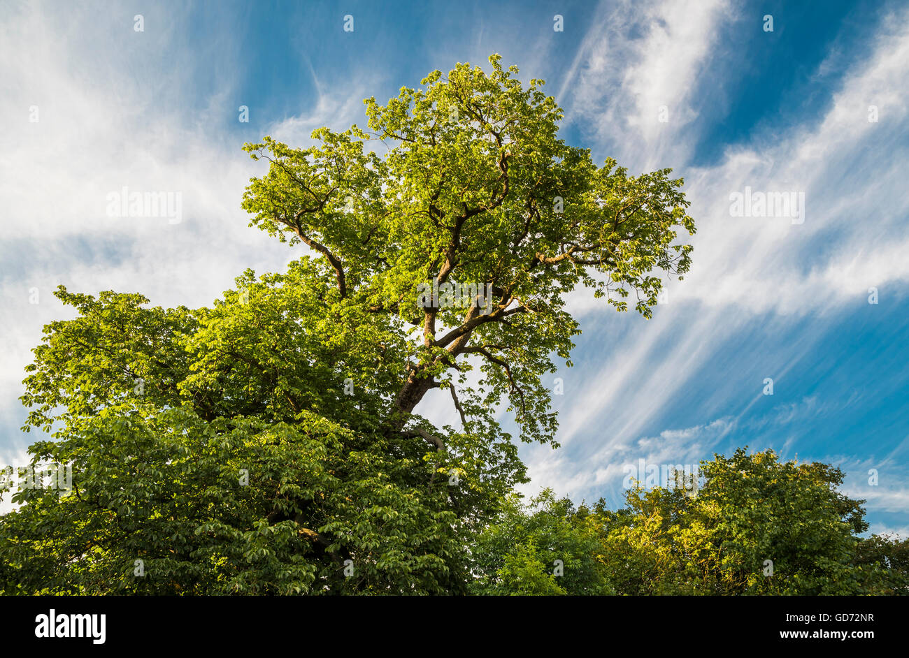 Woodland trees with spectacular cloud formations near Peterborough, Cambridgeshire, England - Stock Image
