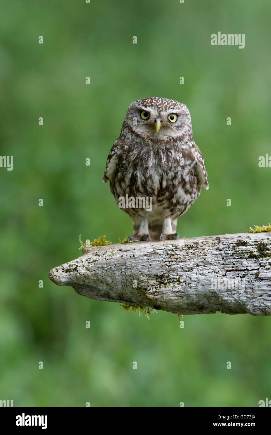 A Little Owl (Athene noctua) perched on old rotting fencing in farmland in the Yorkshire countryside. - Stock Image