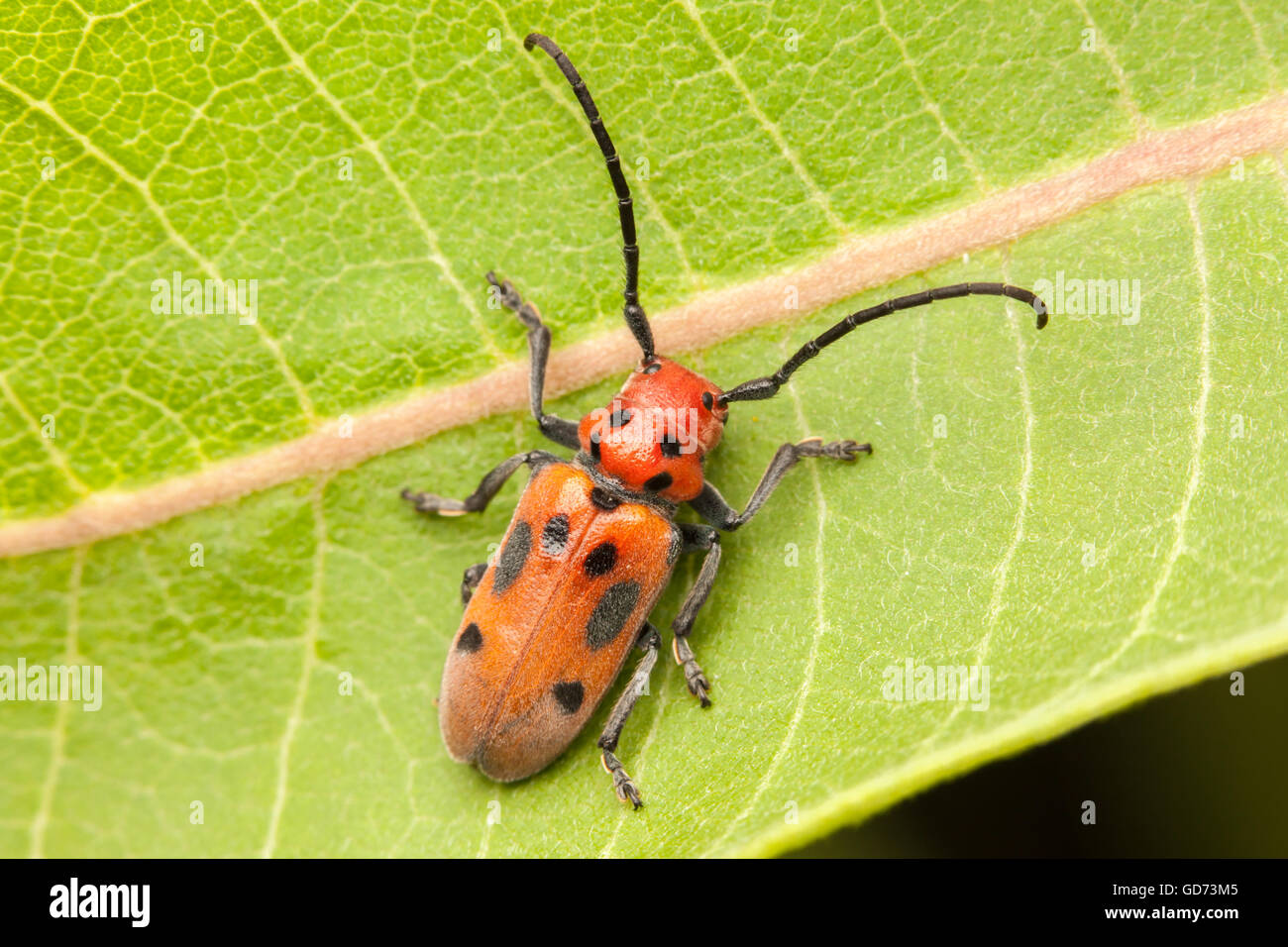 A Red Milkweed Beetle (Tetraopes tetrophthalmus) perches on a Common Milkweed plant leaf. - Stock Image