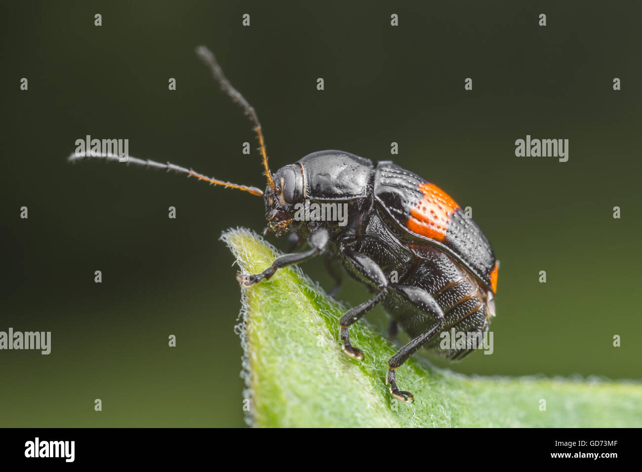 A Case-bearing Leaf Beetle (Bassareus mammifer) stands at the end of a milkweed plant leaf. - Stock Image