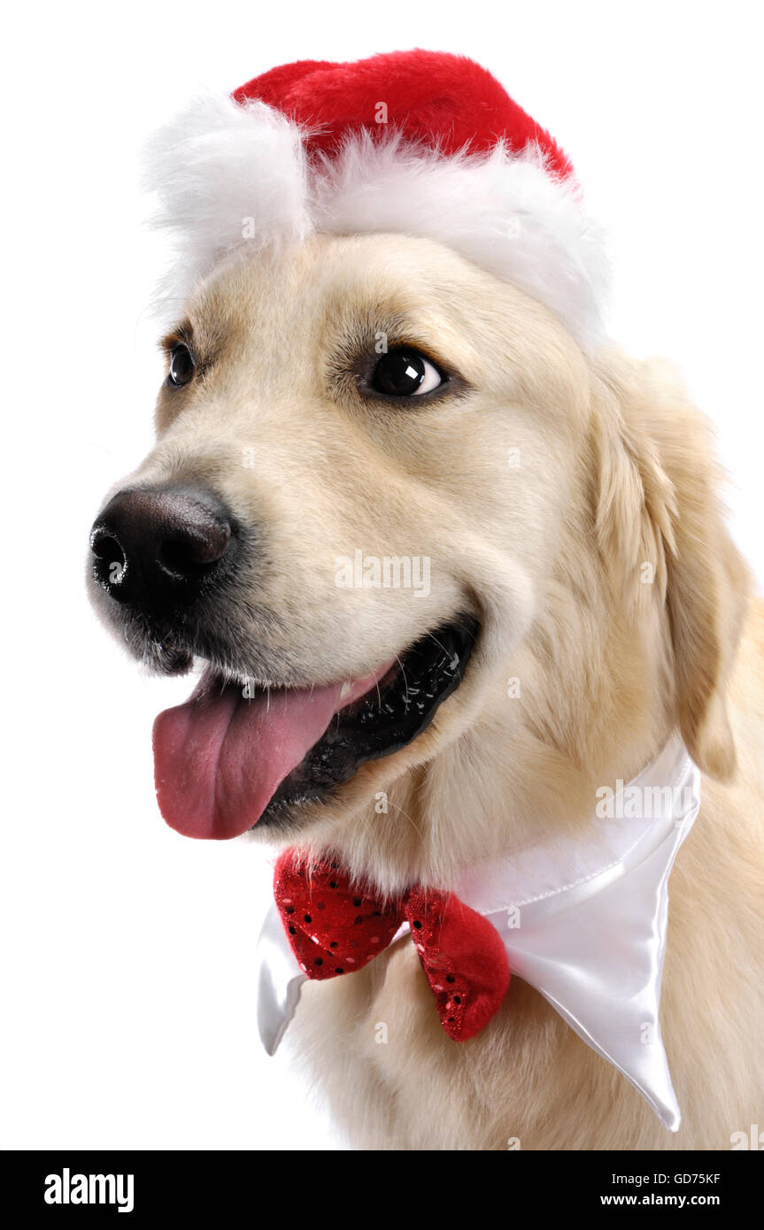 Portrait of a one-year-old Golden Retriever in Santa hat and Christmas bow - Stock Image