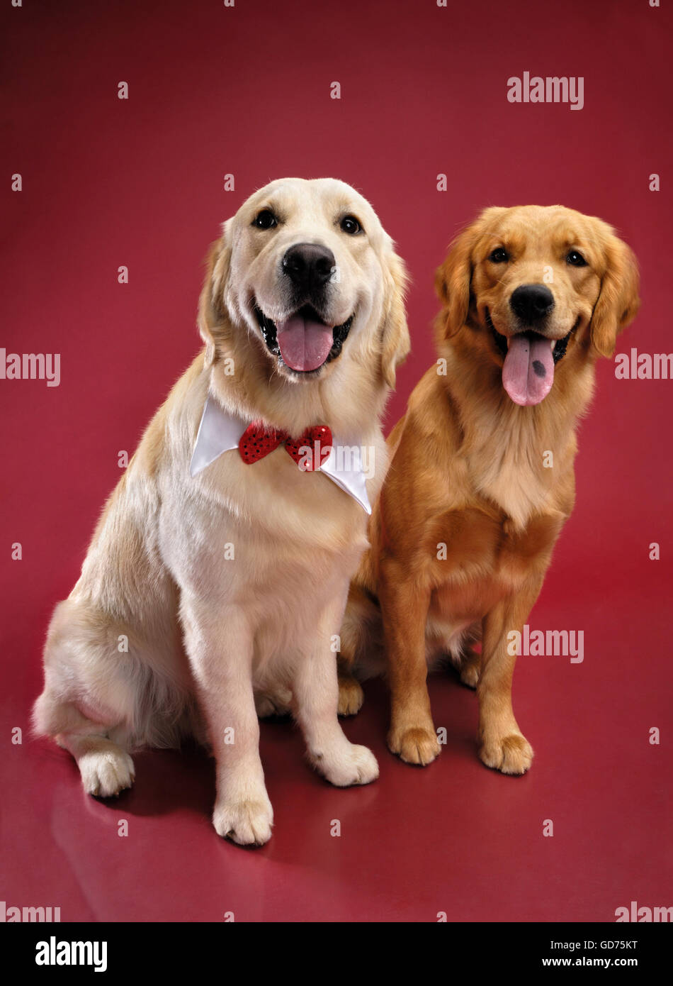Two Golden Retrievers sitting side by side - Stock Image