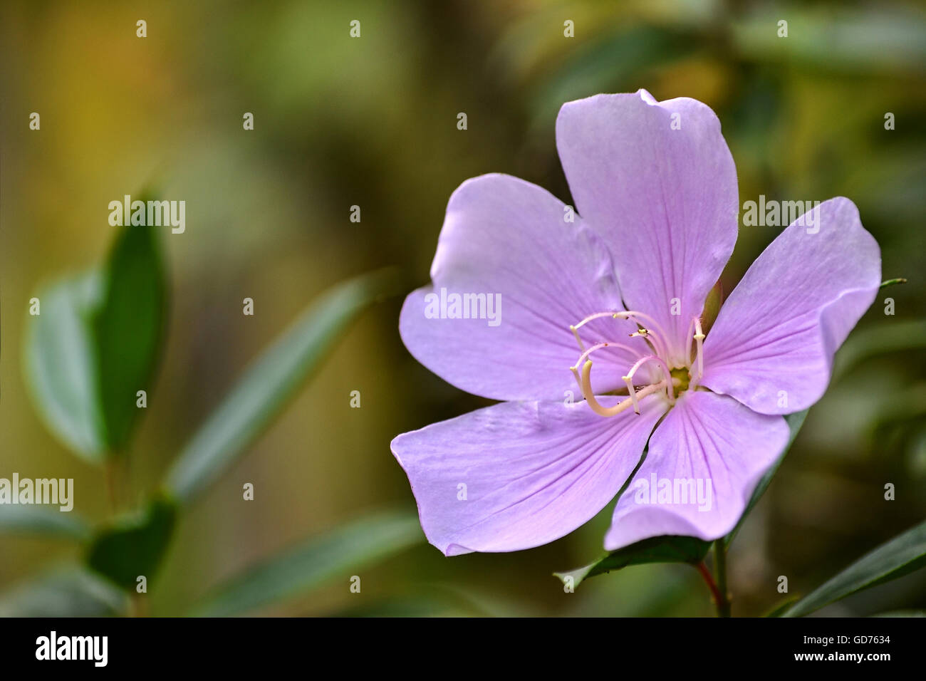 A light pink flower of Tibouchina mutabilis (Manacá-da-serra), in nature. This flower blooms white and is intense - Stock Image