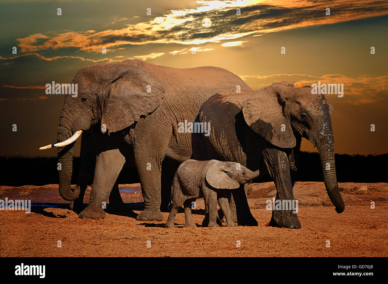 Baby african elephant (Loxodonta africana), suckling in late afternoon, and troop, Addo Elephant National Park, Stock Photo