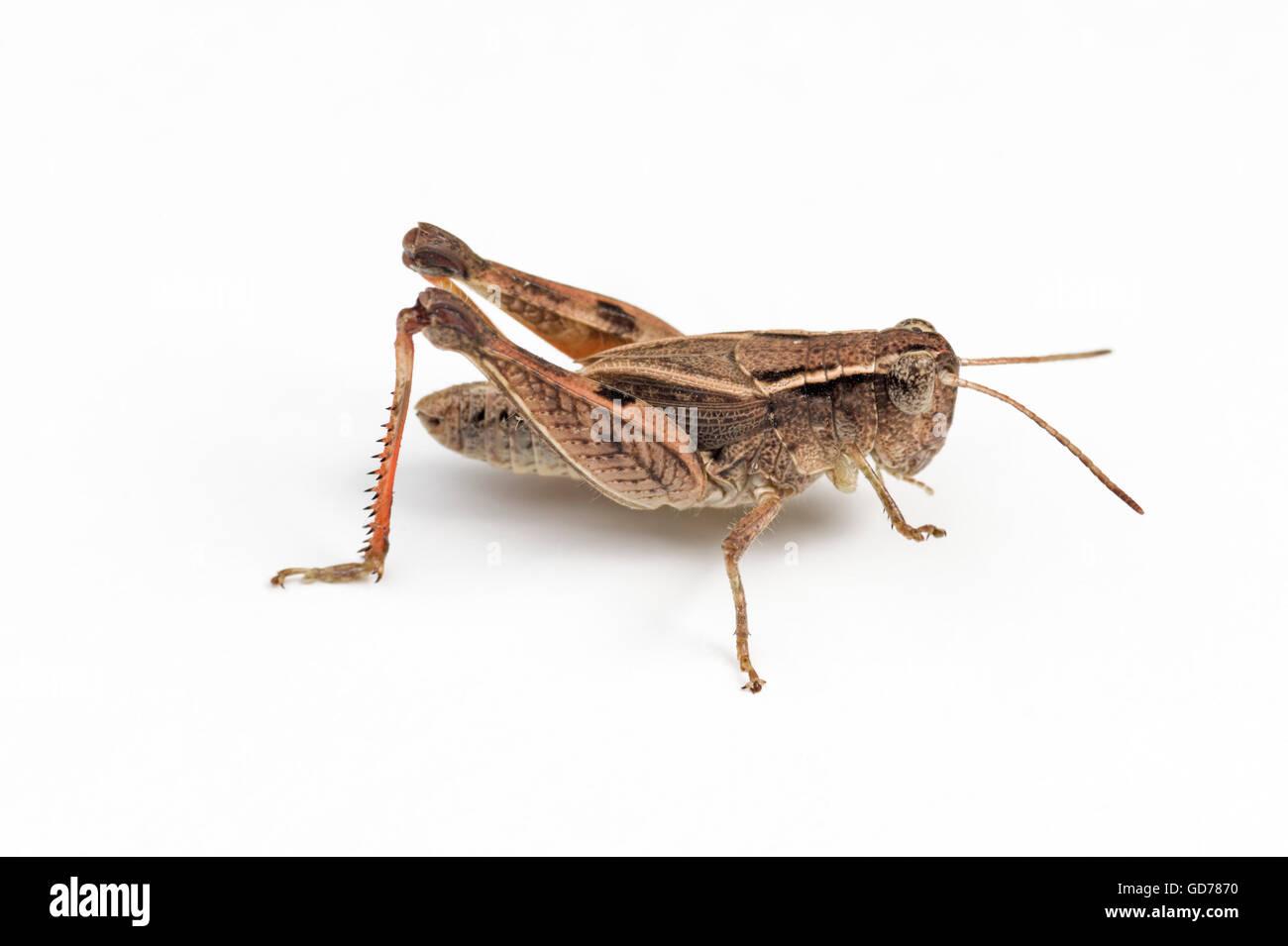 Wingless grasshopper (Phaulacridium vittatum) on white background Stock Photo