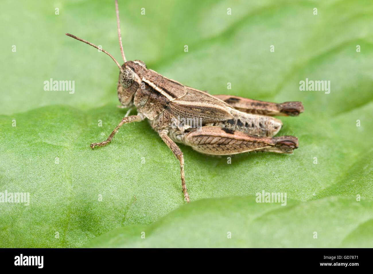 Wingless grasshopper (Phaulacridium vittatum) Stock Photo
