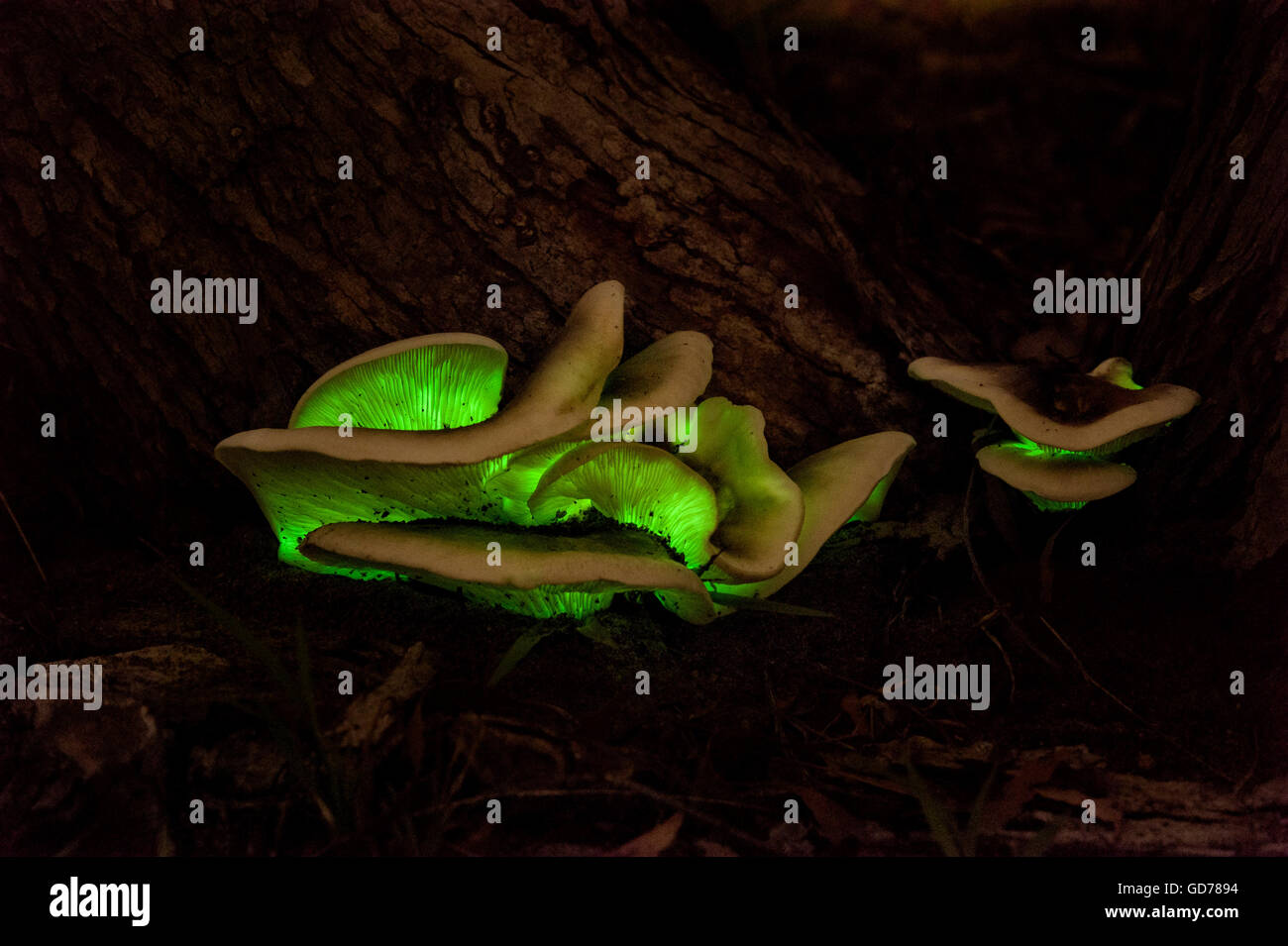Ghost fungus glowing in the dark with bioluminescence - Stock Image