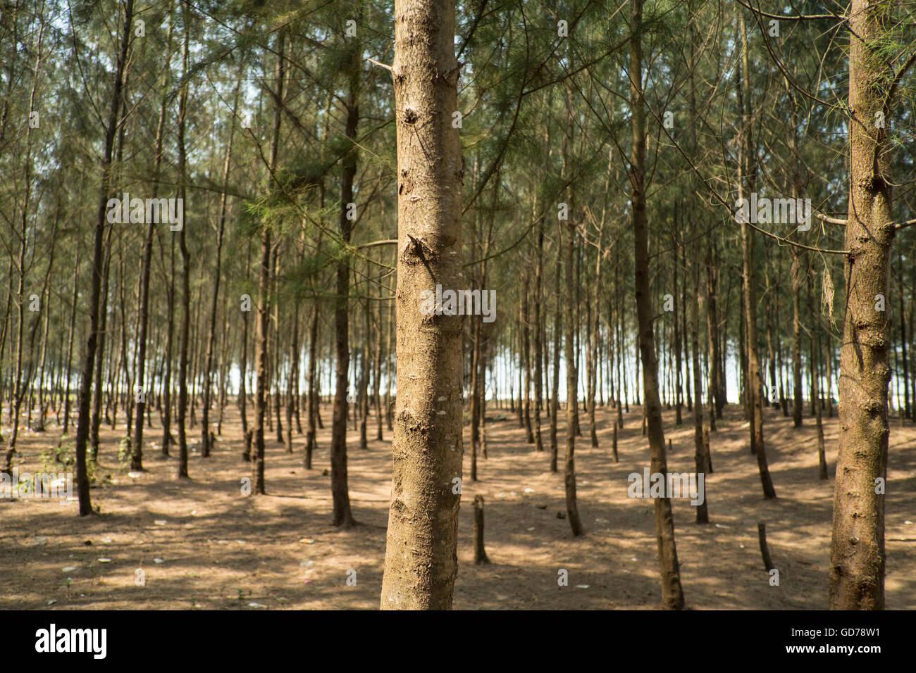 Casuarina trees on Kashid Beach in Maharashtra - Stock Image