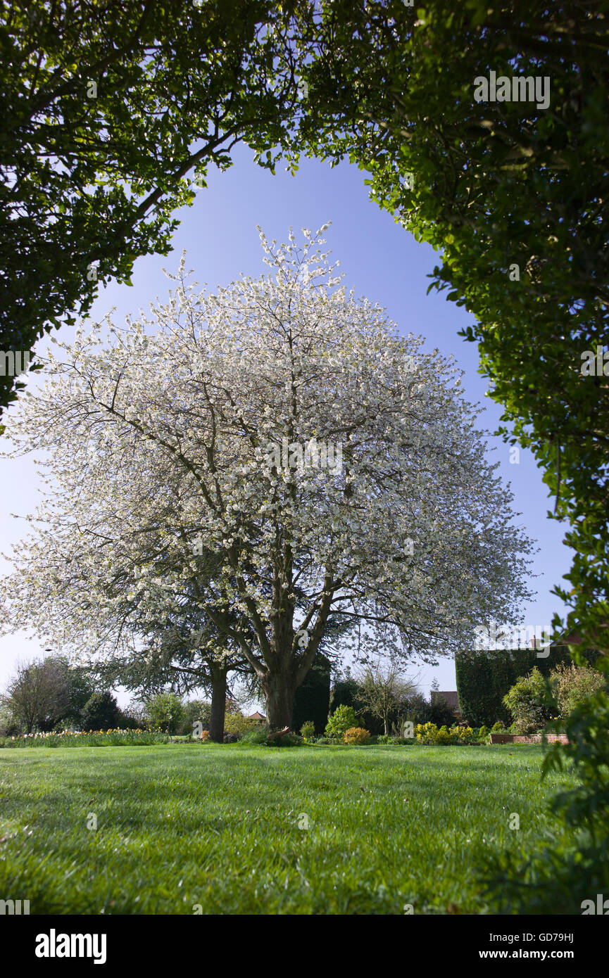 Flowering cherry tree framed by an arch in a boundary privet hedge - Stock Image