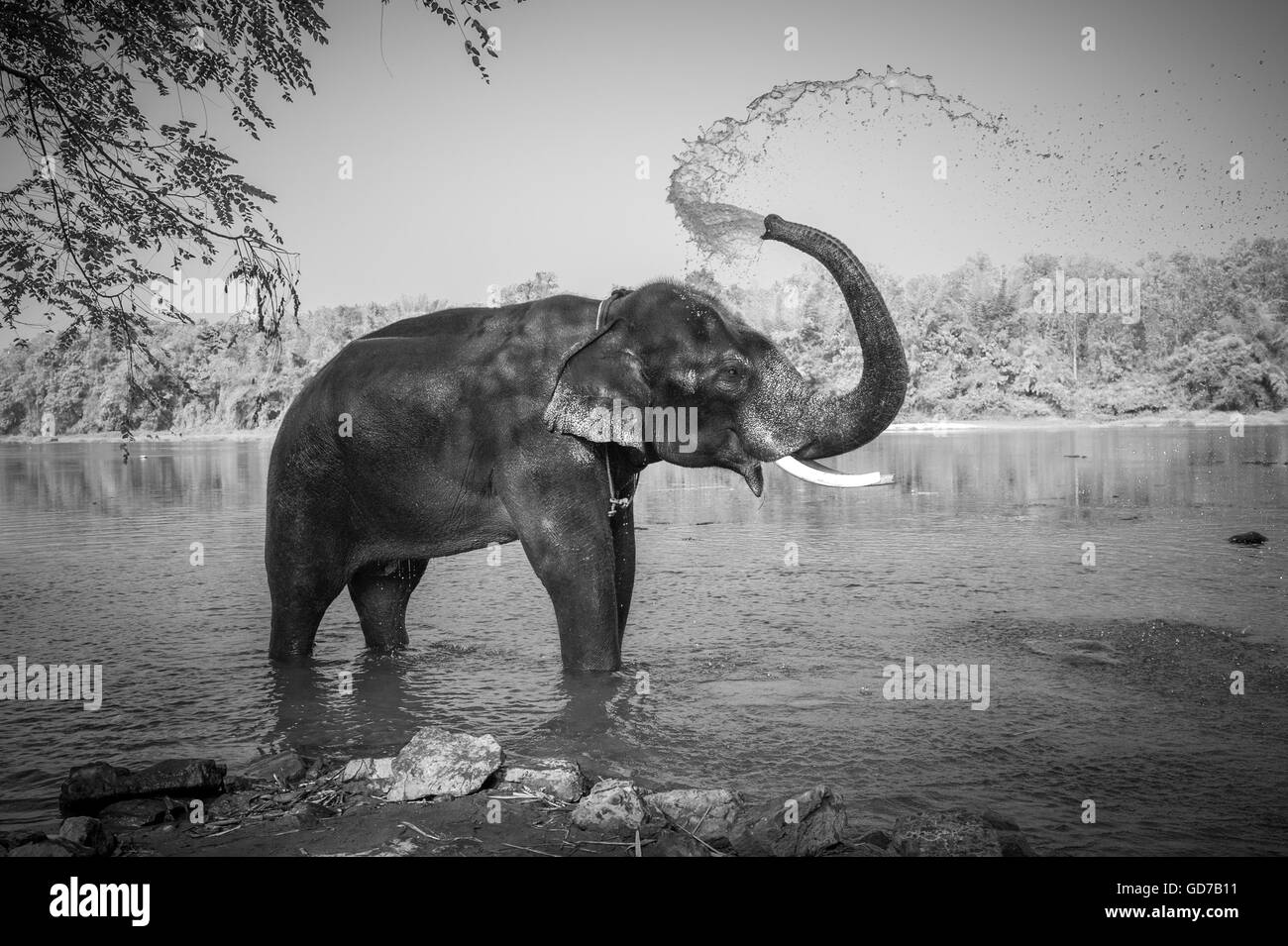 Black and white image of elephant bathing, Kerala, India - Stock Image