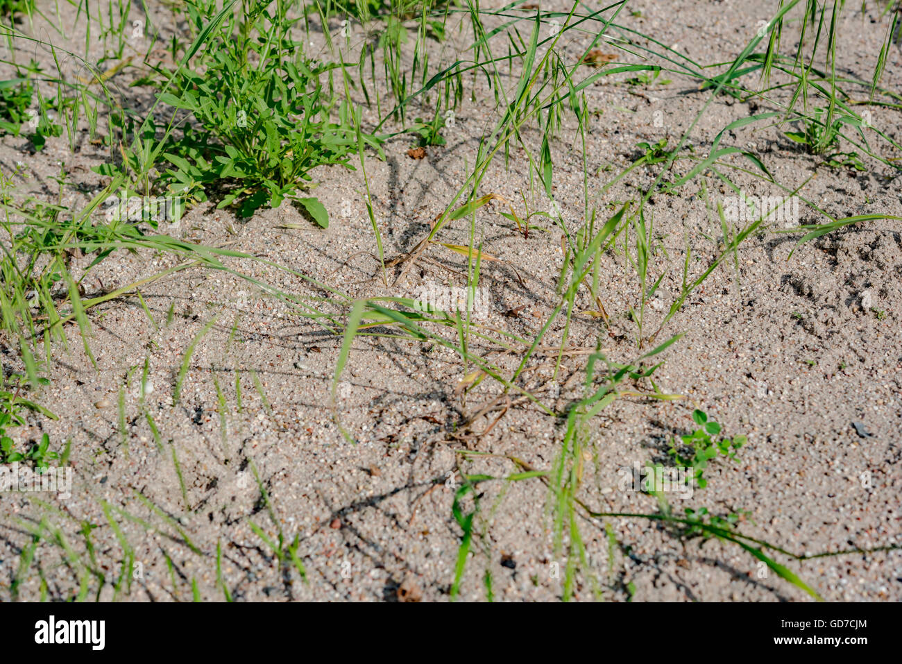 sand grass in early summer Stock Photo