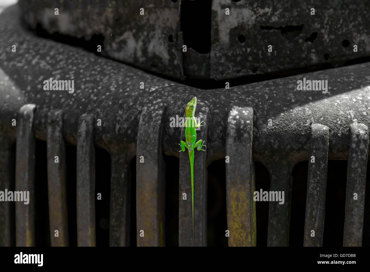 A Gecko resting on the front end of an antique rusted car - Stock Image