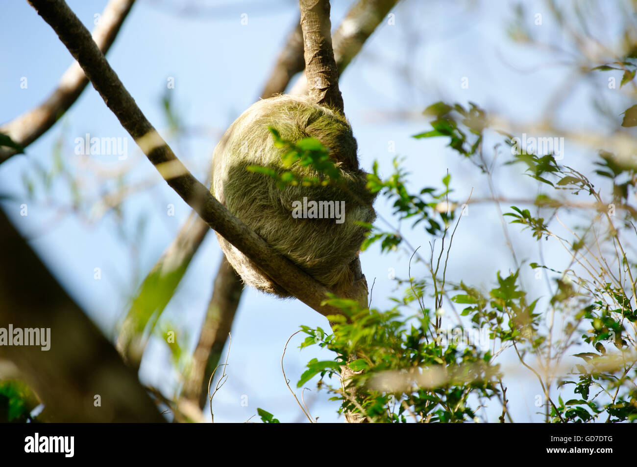 Sloth sleeping in a tree in Costa Rica - Stock Image