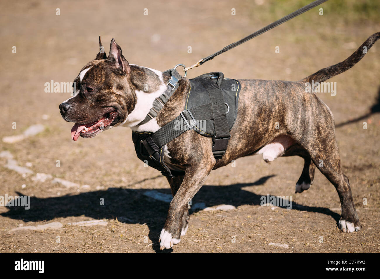Dog American Staffordshire Terrier Posing On Obedience Training Outdoor - Stock Image