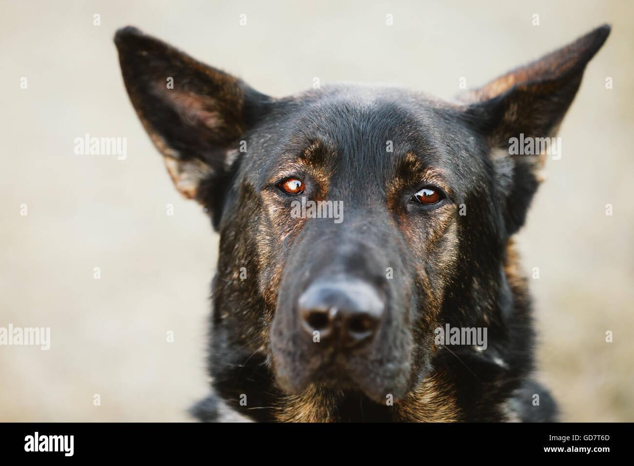 German Shepherd Dog Close Up Portrait. Alsatian Wolf Dog. Deutscher Dog - Stock Image