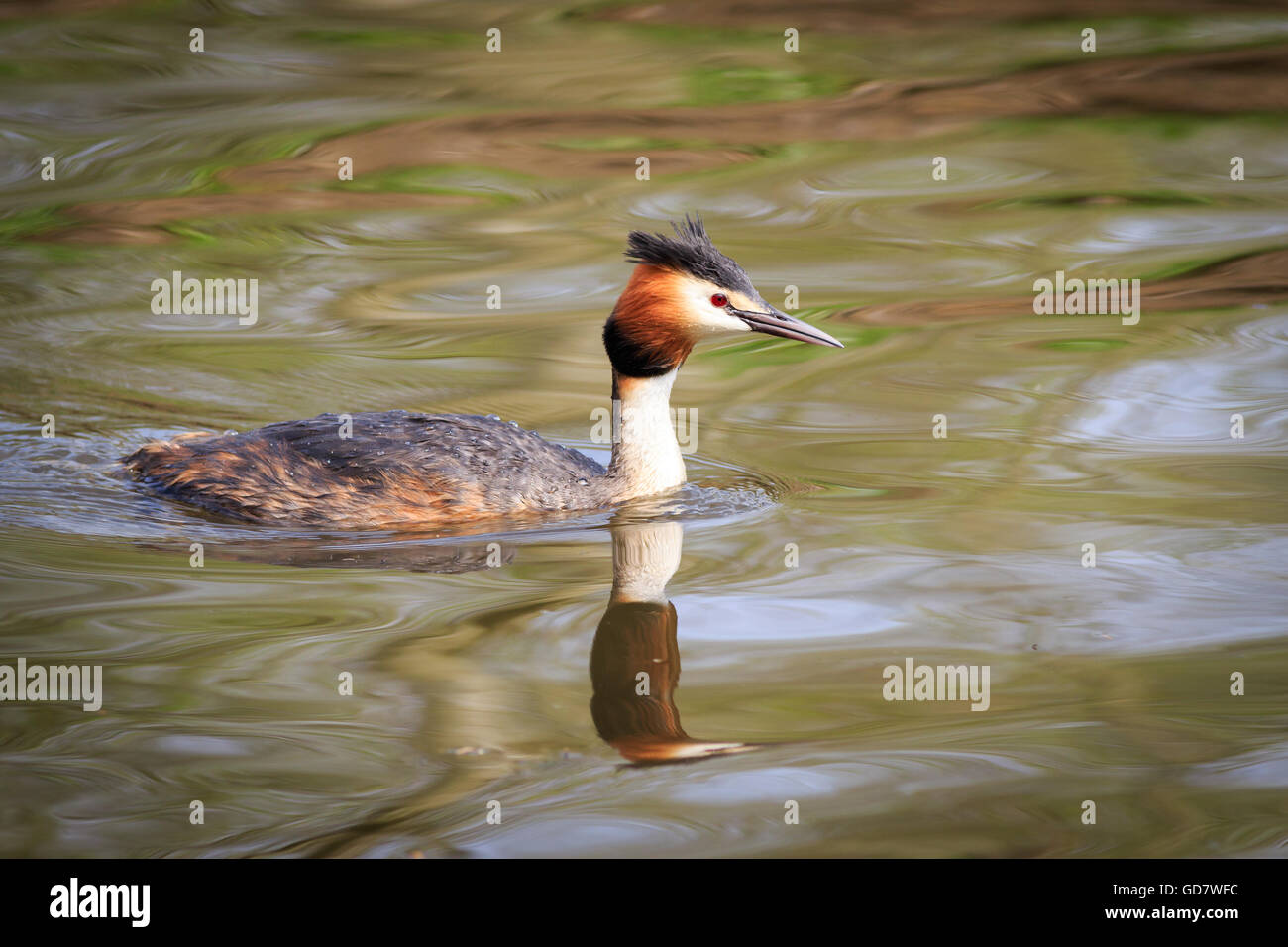 Great crested grebe  swimming on the lake - Stock Image