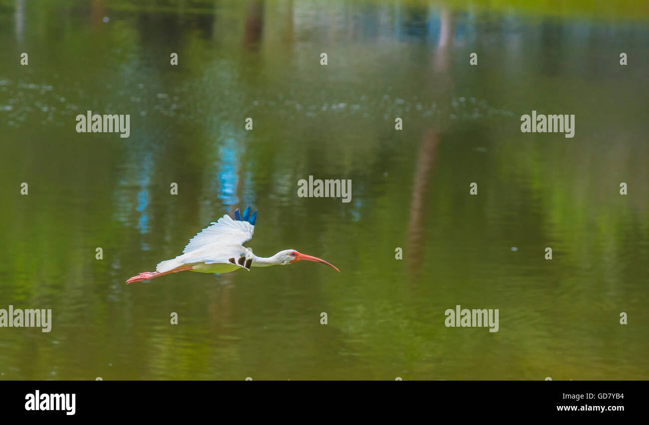 A white crane with red beak glide through the air over a green lake. - Stock Image