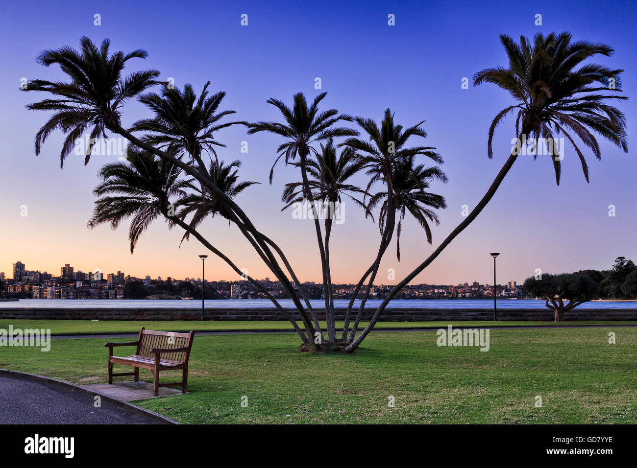Dark silhouette of multi trunk palm trees with leafe crowns against sunsetting sky in Royal Botanic Garden, Sydney, - Stock Image