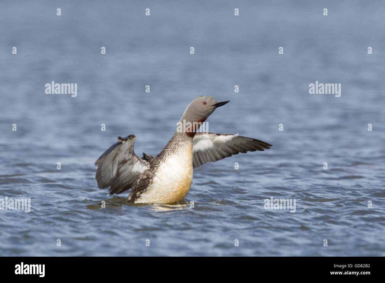 Red-throated Diver - flapping wings Gavia stellata Flo Nature Reserve Iceland BI027964 - Stock Image