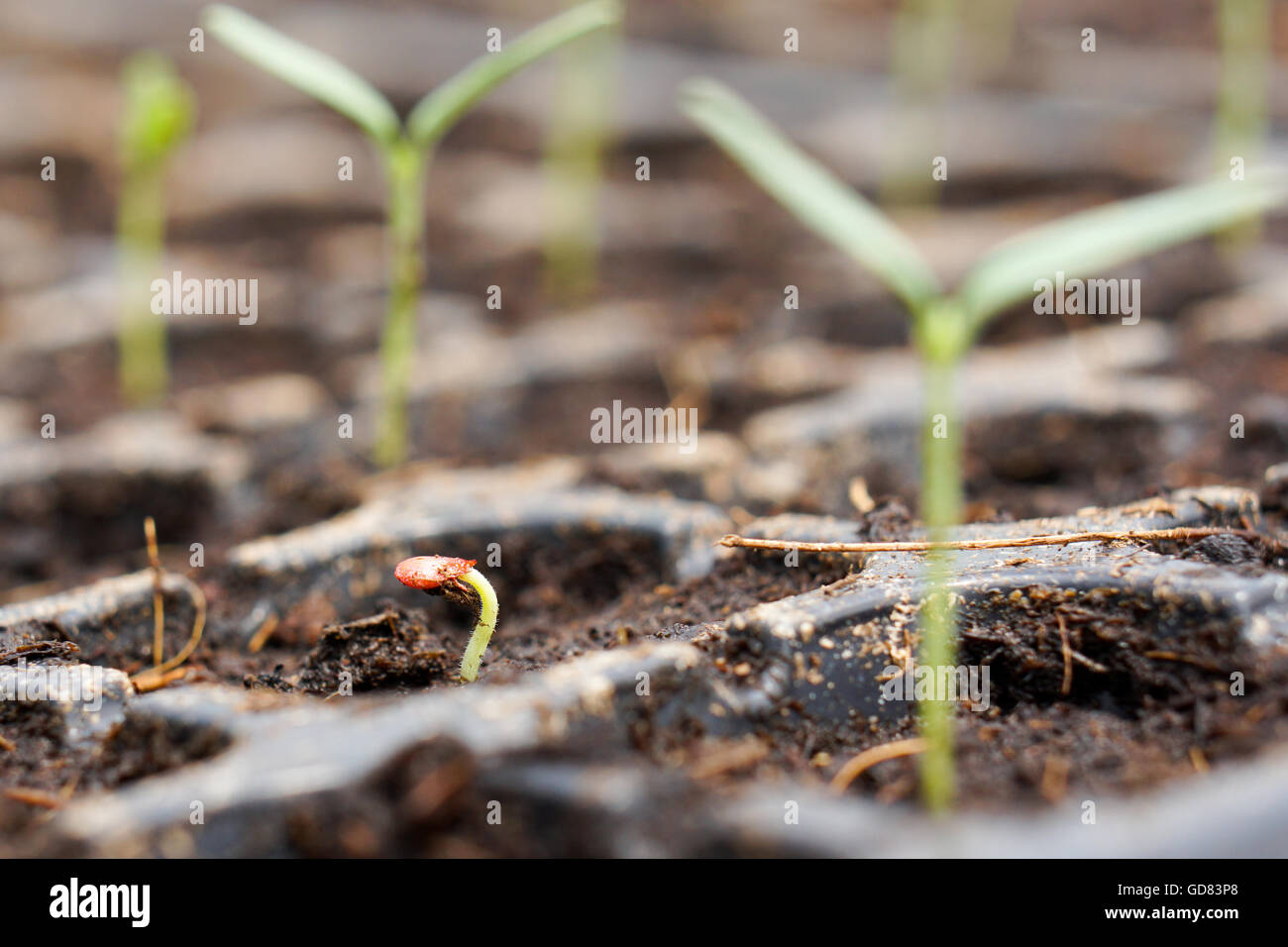 close up of tomato seedling that just emerge from soil with red color seed coat - Stock Image