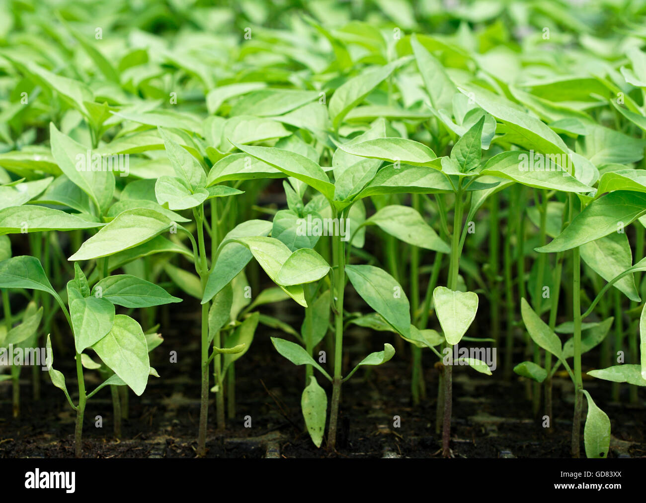 chili seedling in tray ready to transplant in the field - Stock Image