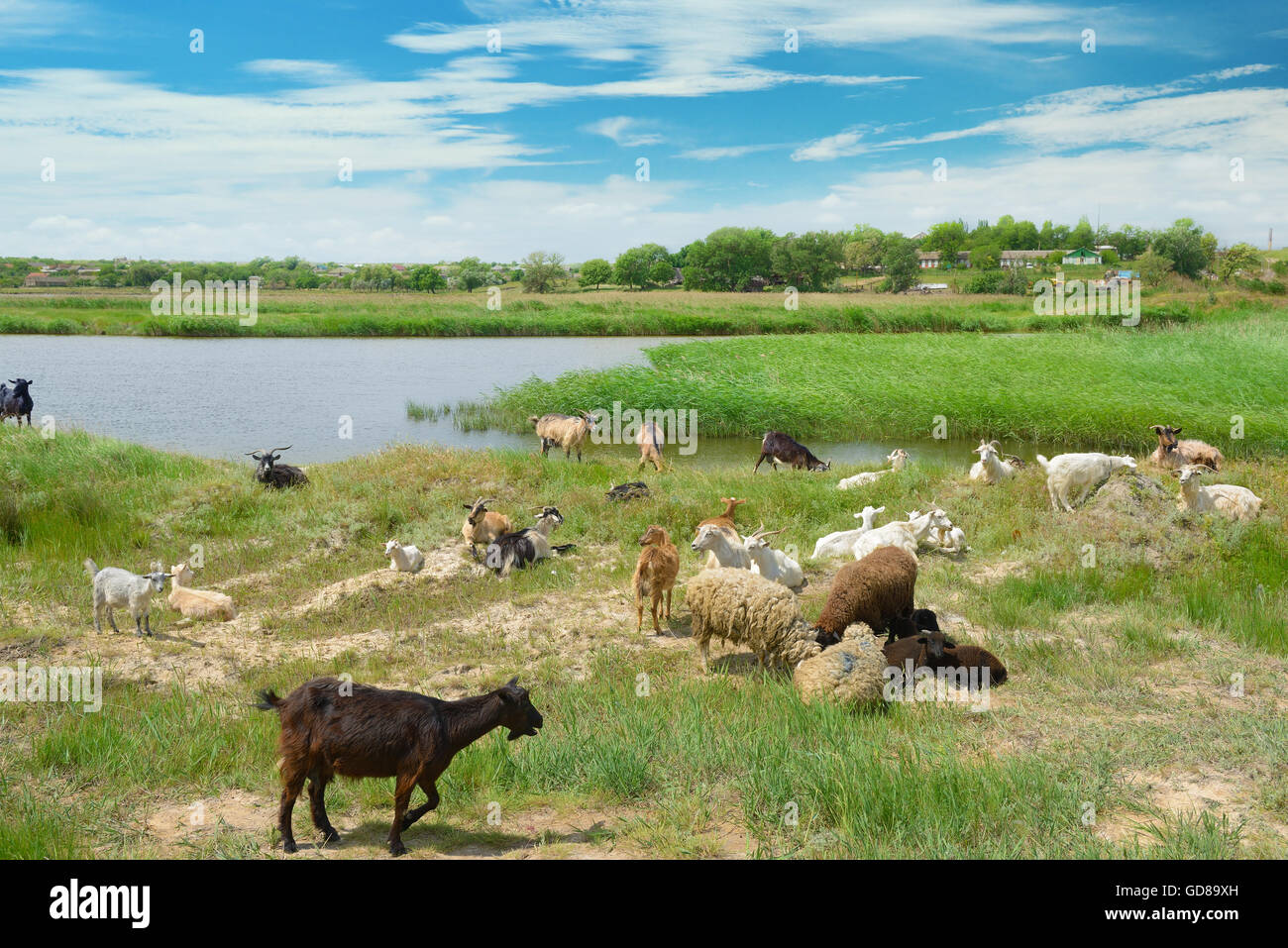 Herd of goats on the lake - Stock Image