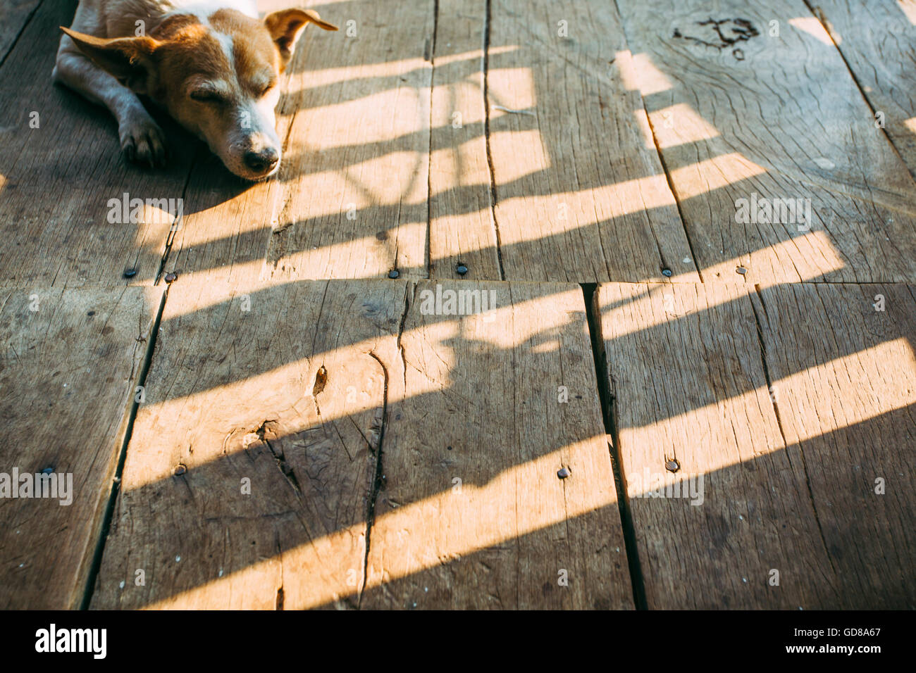 A dog lying on the wooden floor in the village house - Stock Image