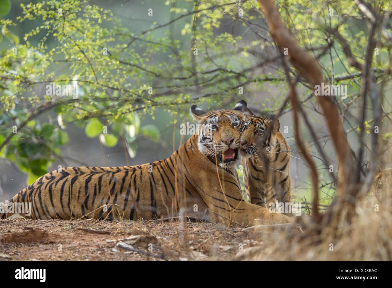 Bengal Tigress family beside the trees at Ranthambhore Forest, India. ( Panthera Tigris ) - Stock Image