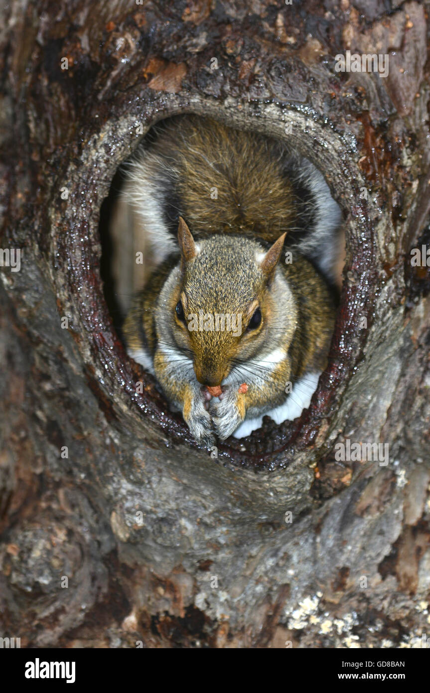 squirrel tree hole stock photos amp squirrel tree hole stock