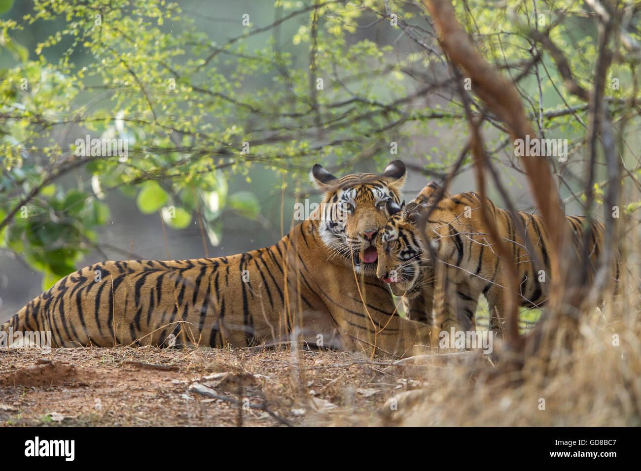 Bengal Tigress family staring beside the trees at Ranthambhore Forest, India. ( Panthera Tigris ) - Stock Image