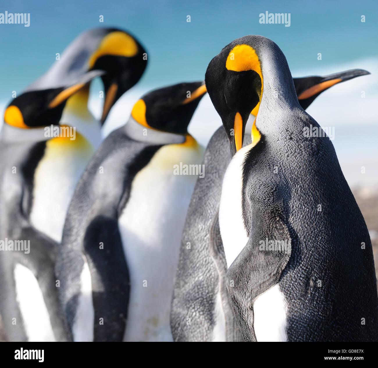 King penguins (Aptenodytes patagonicus).  Saunders Island, Falkland Islands. South Atlantic. - Stock Image