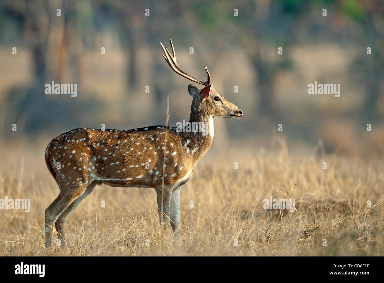 The image of Spotted deer ( Axis axis ) was taken in Bandavgarh national park, India - Stock Image