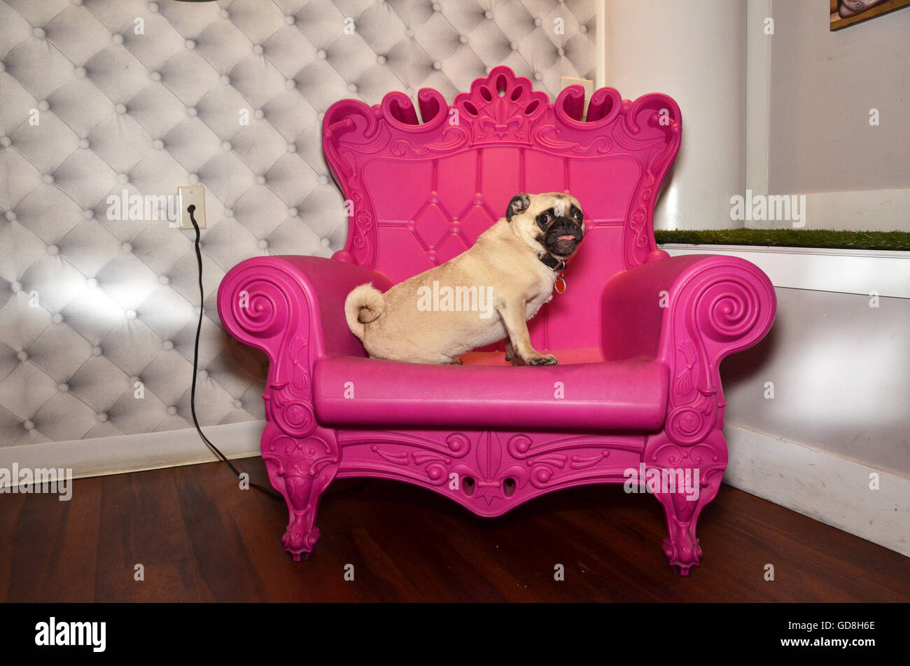 D Pet Hotels Chelsea Manhattan new york USA pug on pink throne - Stock Image