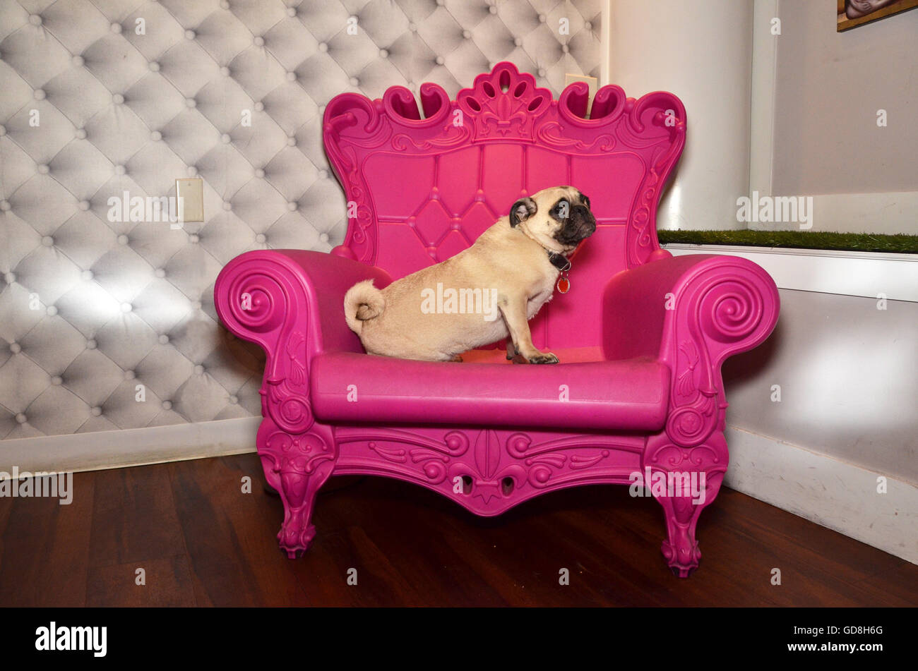 D Pet Hotels Chelsea Manhattan new york USA pug on pink throne Stock Photo