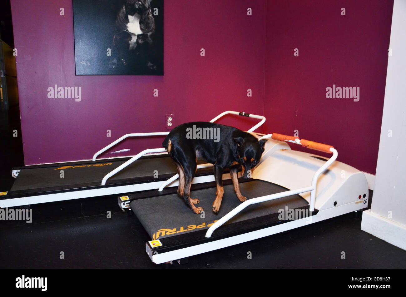 D Pet Hotels Chelsea Manhattan new york USA miniature doberman on treadmill exercise machine Stock Photo