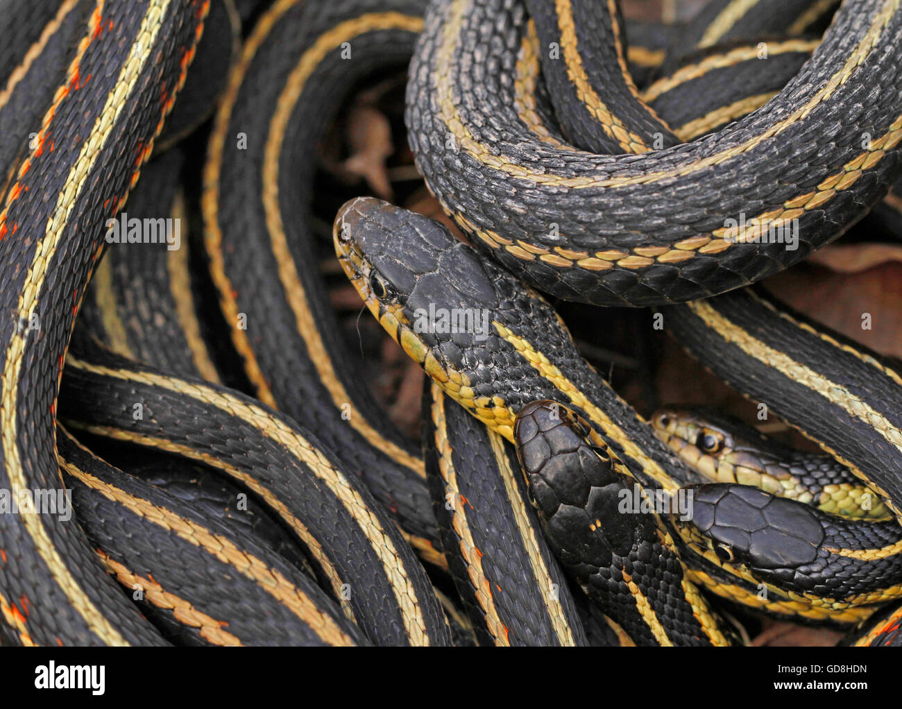 Group of red sided garter snake Thamnophis sirtalis parietalis mating in Narcisse, Manitoba, Canada. Stock Photo