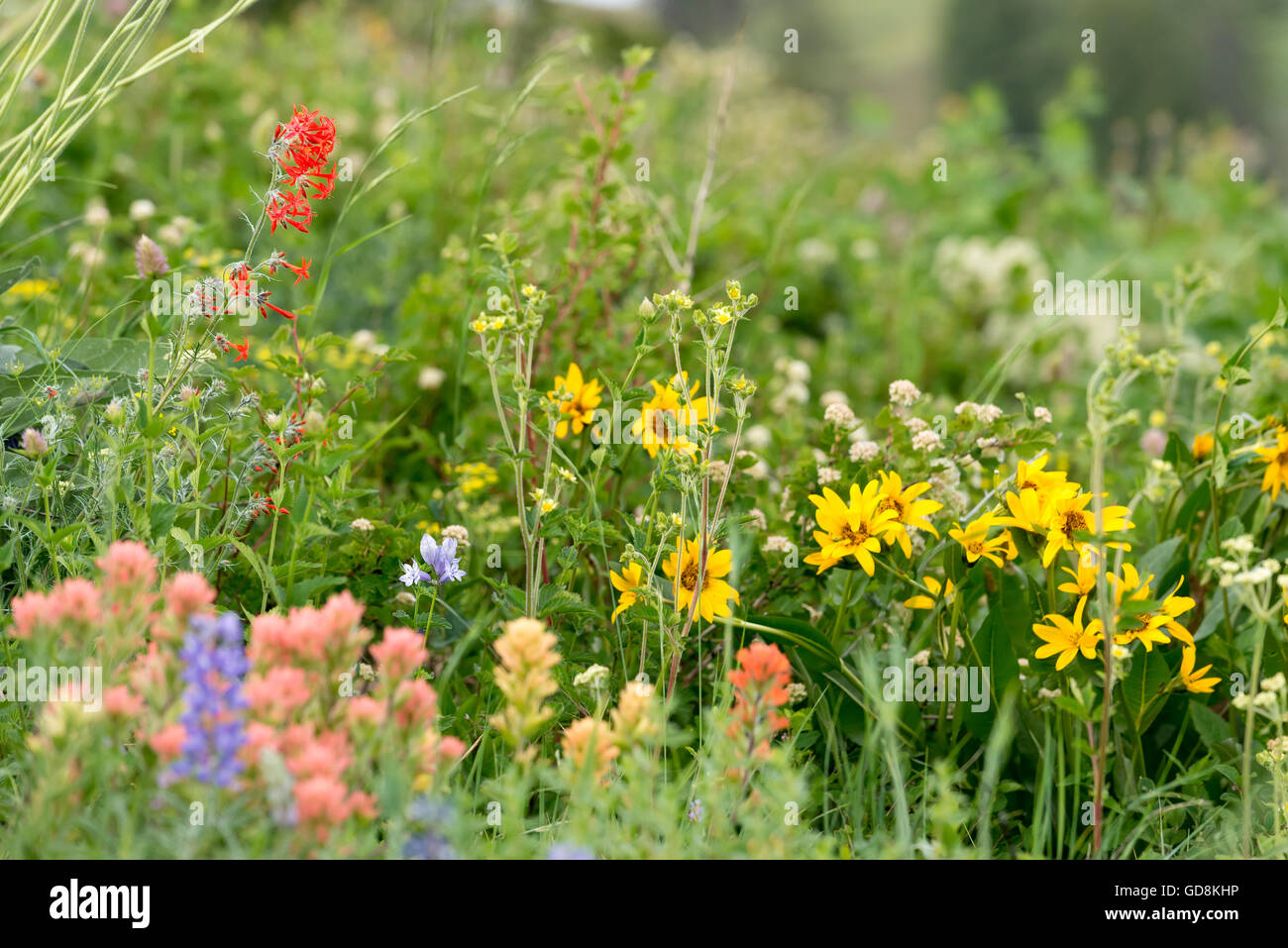 Wildflowers on the rim of Hells Canyon, Oregon. - Stock Image