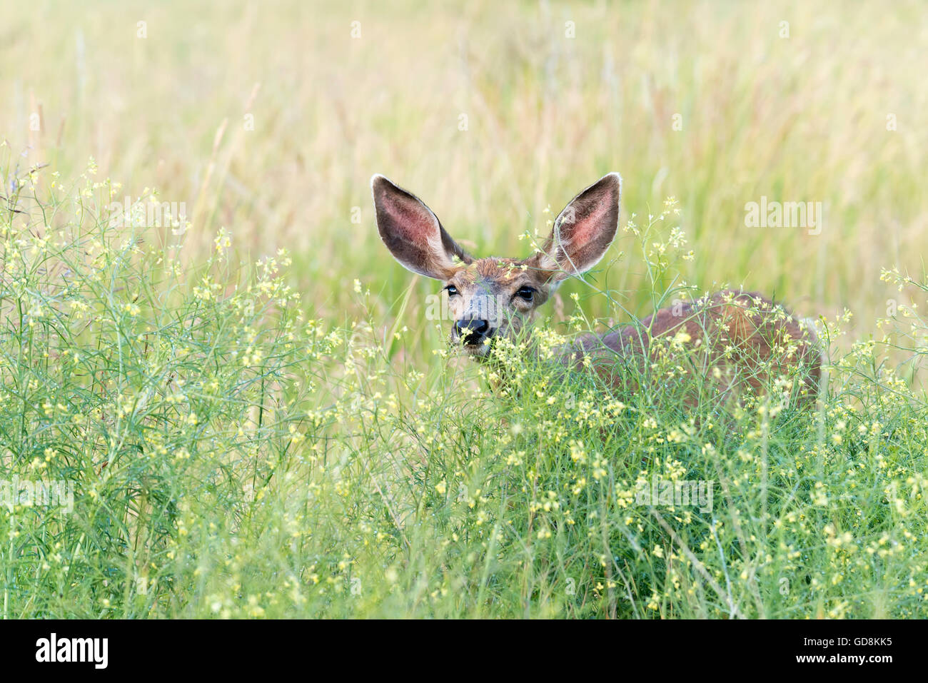Mule deer in tall grasses and forbs, Iwetemlaykin Heritage Site, Wallowa Valley, Oregon. - Stock Image