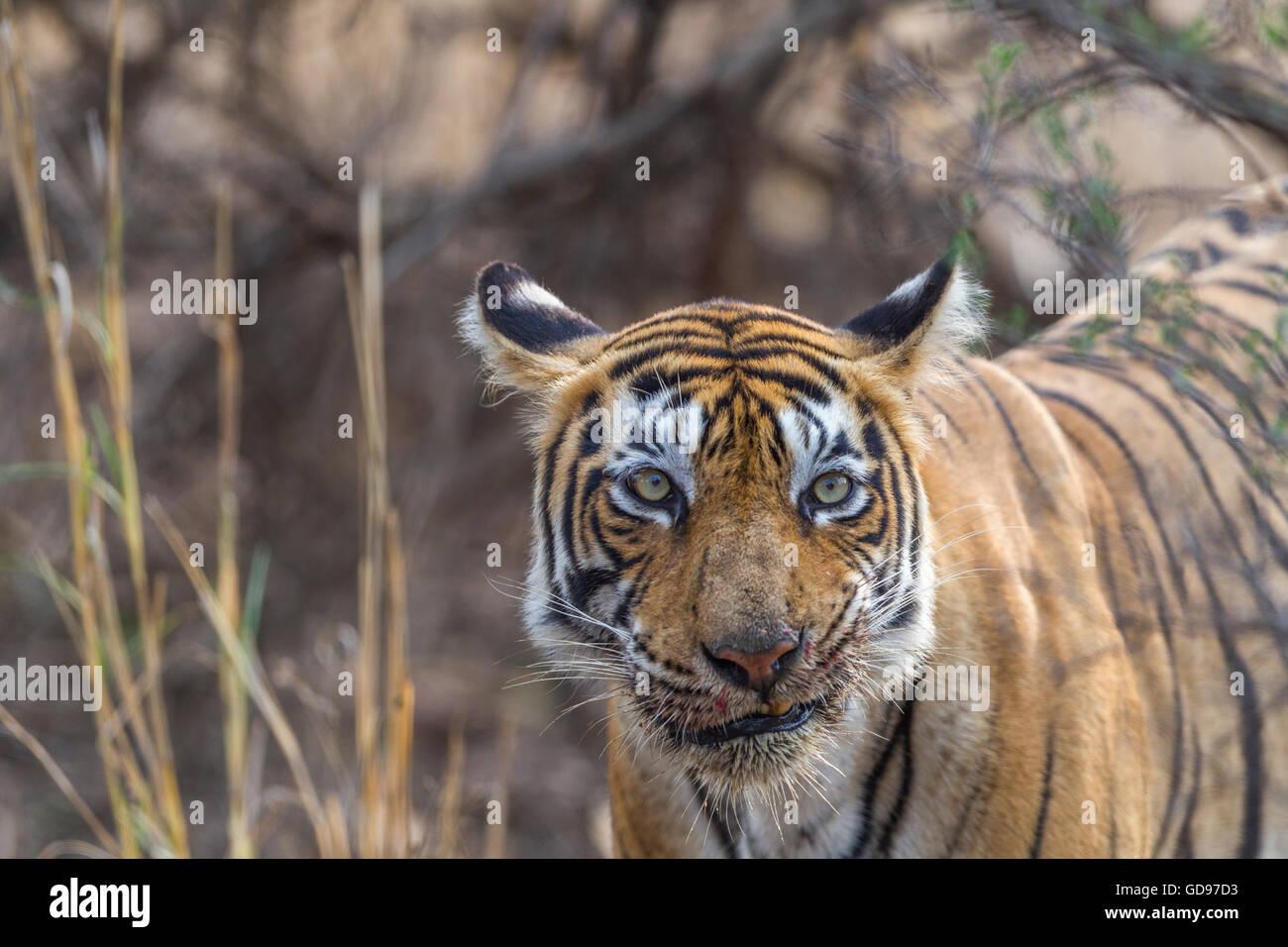 Bengal Tigress family eating a kill of Nilgai or blue bull antelope at Ranthambhore, India. ( Panthera Tigris ) - Stock Image