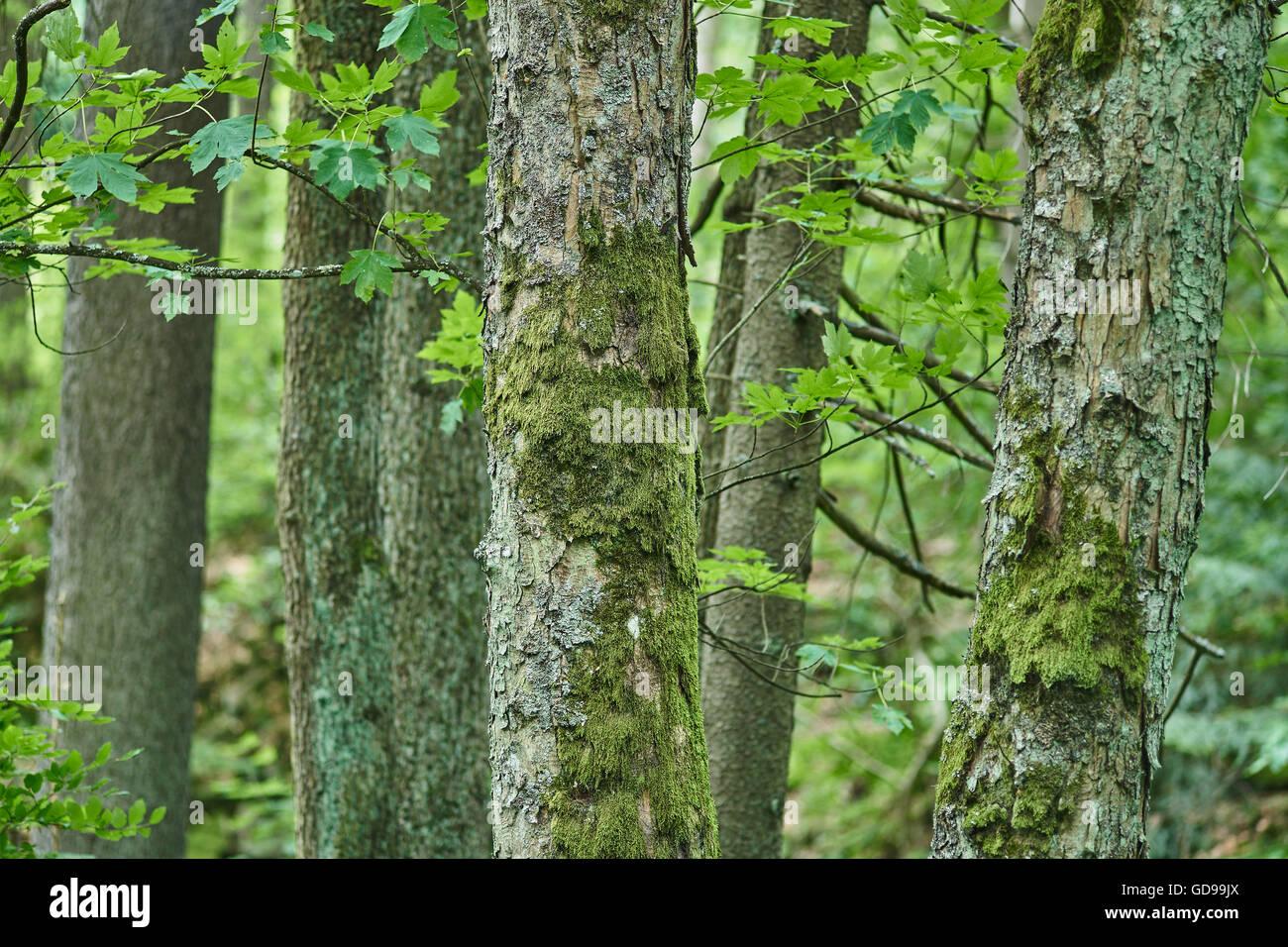Lichens On Tree Bark Green Stock Photos & Lichens On Tree Bark Green ...