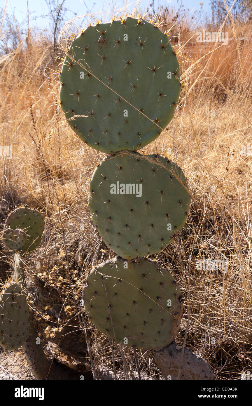 Wild Opuntia robusta prickly pear cactus Stock Photo