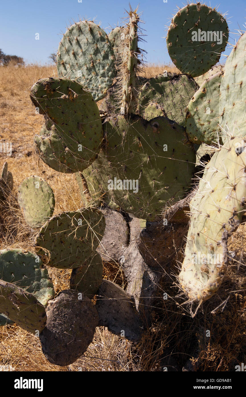Wild Opuntia robusta prickly pear cactus with a spider web Stock Photo