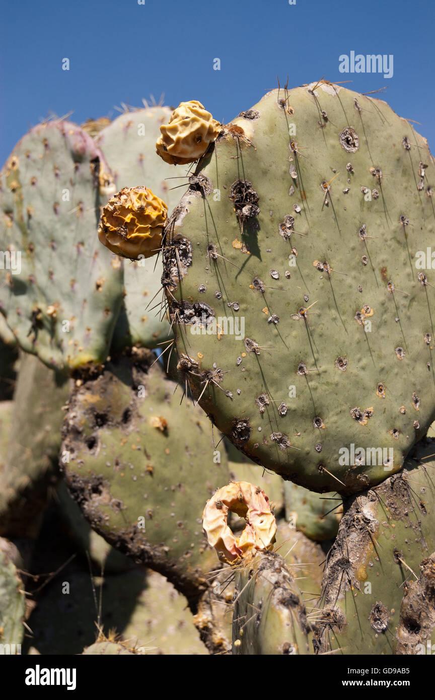 Wild Opuntia robusta prickly pear cactus Stock Photo