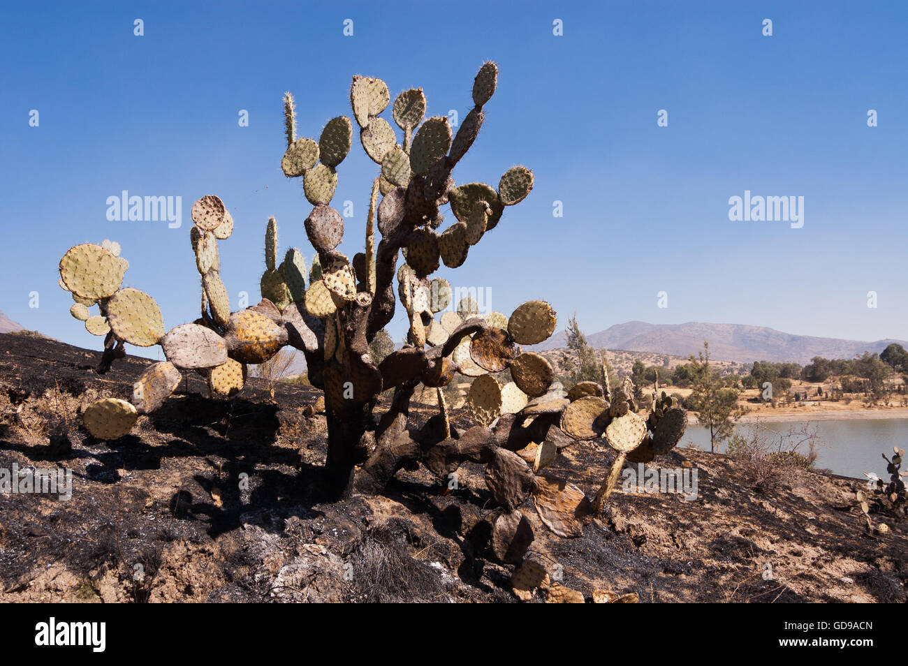 Partially burned prickly pear cactus Stock Photo