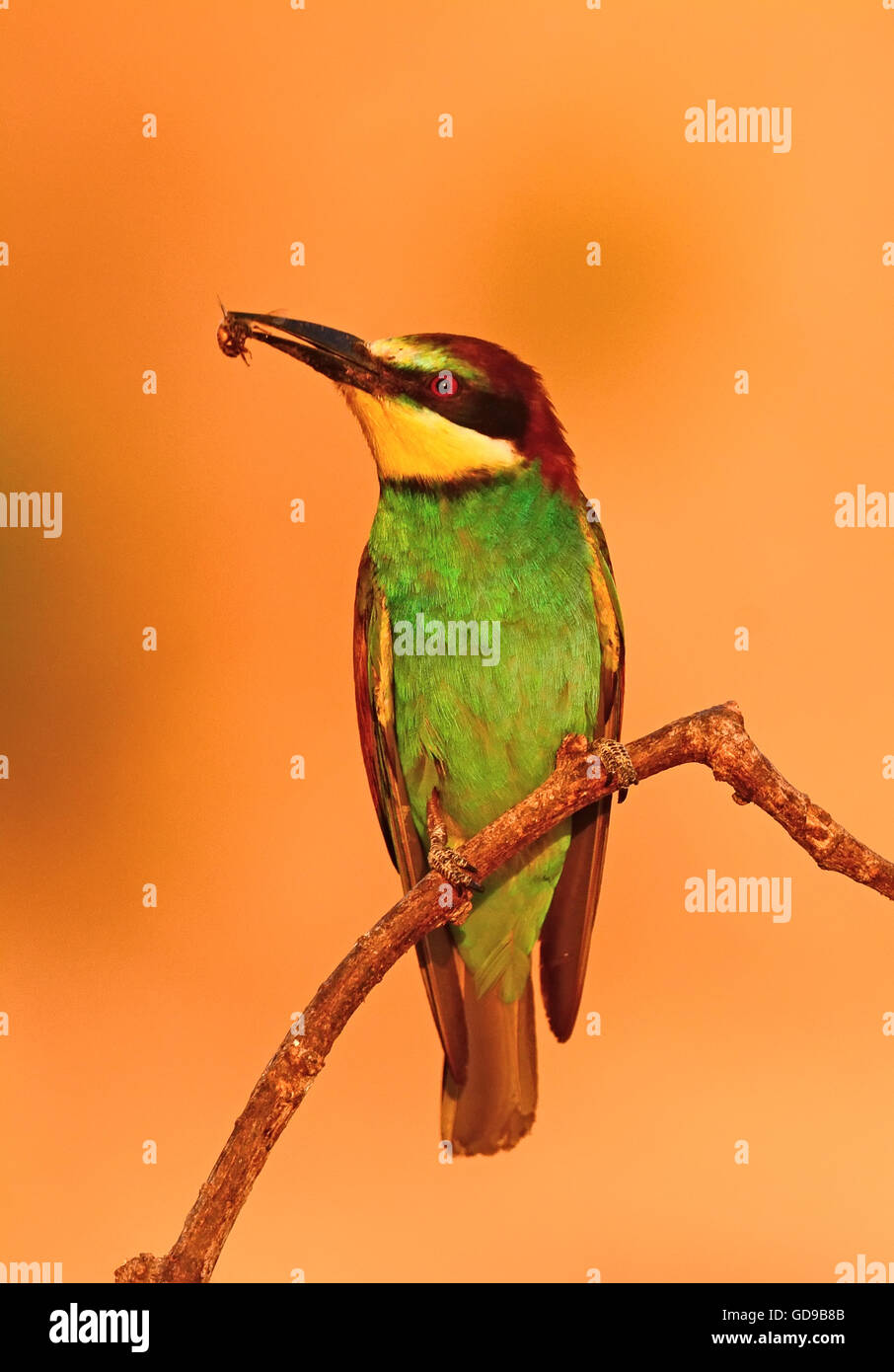 bee eater with a bee Stock Photo
