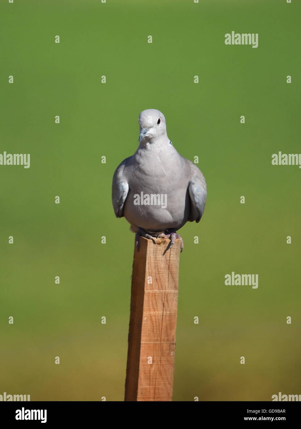 Eurasian collared dove (Streptopelia decaocto) Perching on stick Stock Photo